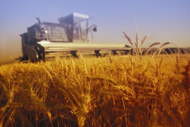 Wheat being harvested.
